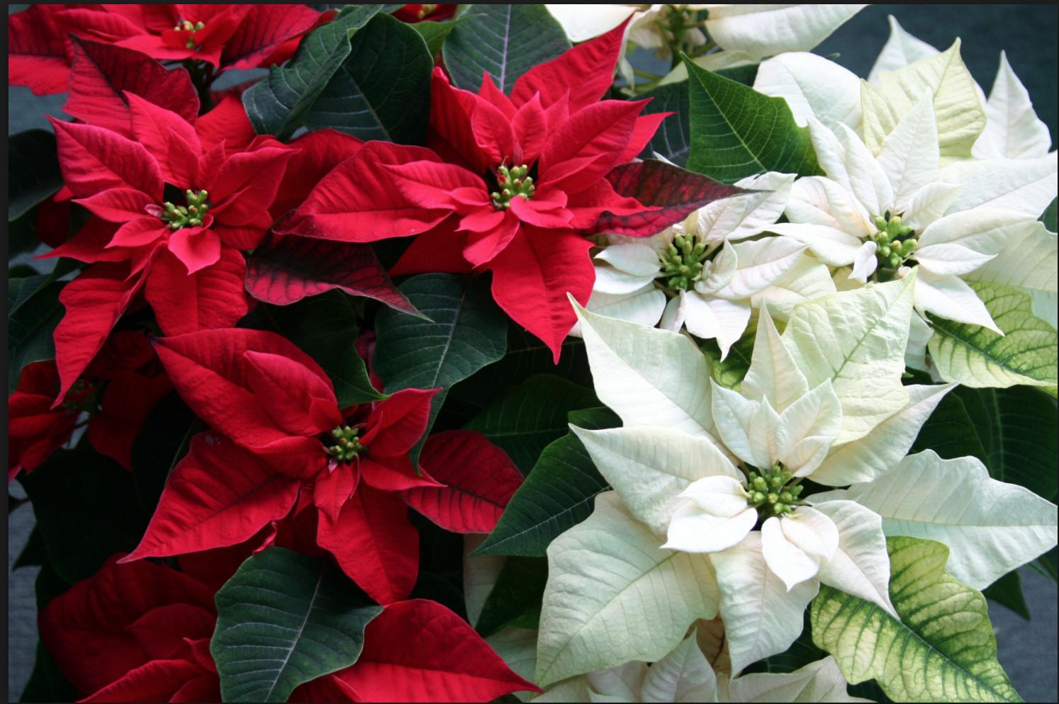 Цветок пуансетия - пересадка, уход и размножение 24